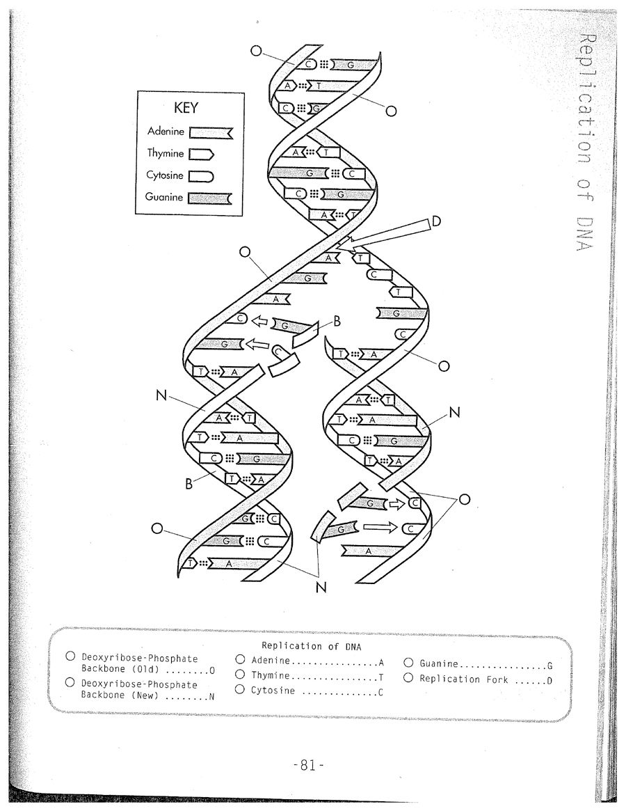 Dna Replication Labeling Worksheet Answer Key Pdf