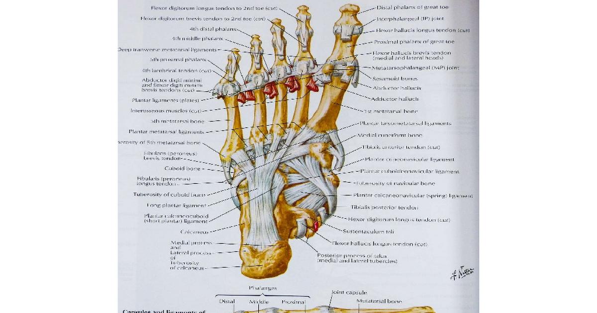 Atlas Of Human Anatomy Pdf Google Drive