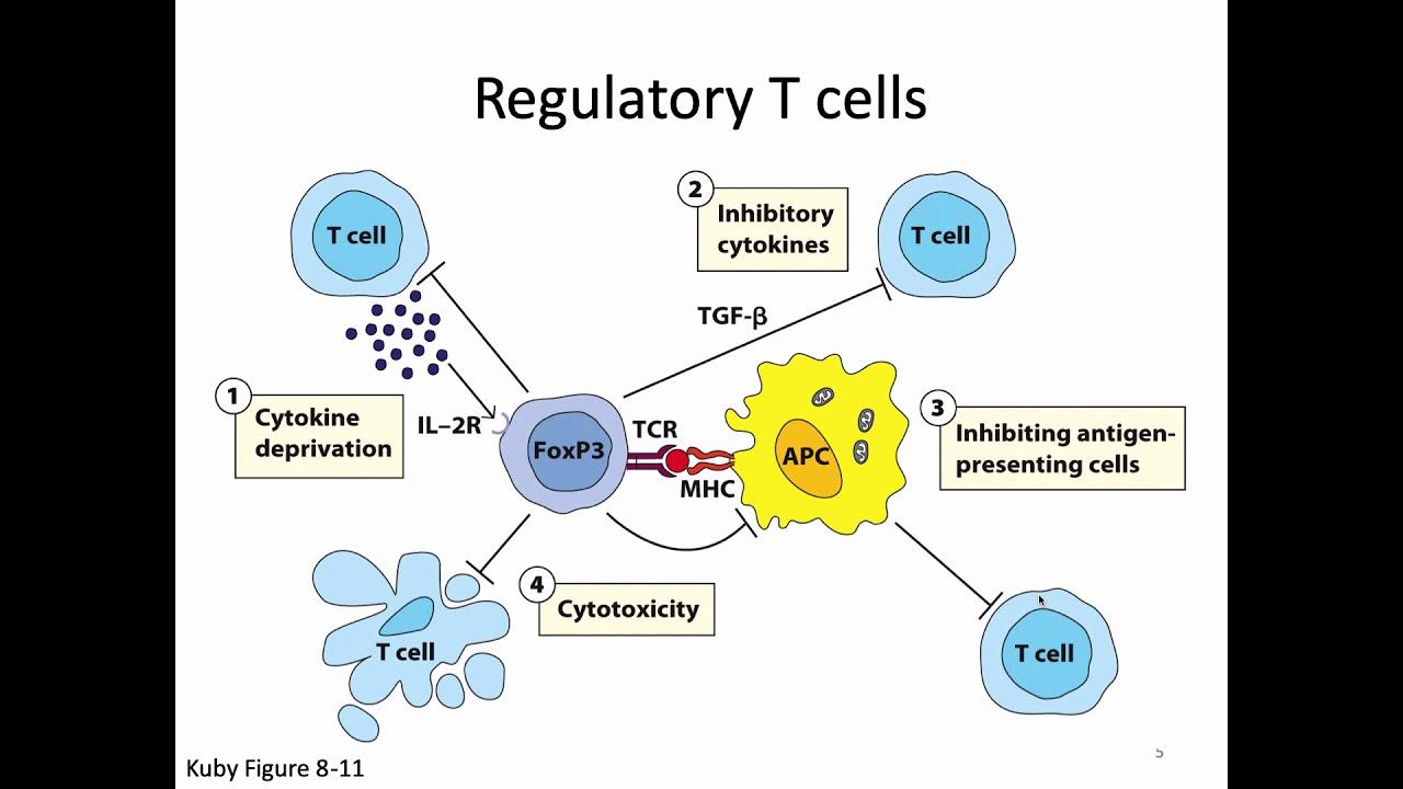 Immunology By Kuby Pdf