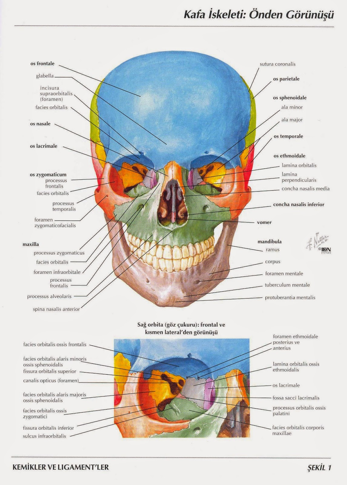 Netter Anatomy Pdf