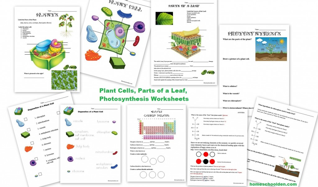 Photosynthesis And Cellular Respiration Worksheet Middle School Pdf