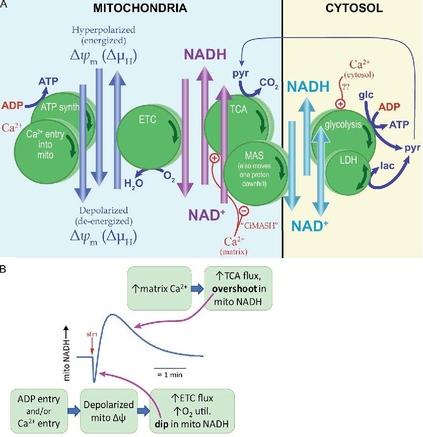 Oxidative Phosphorylation Pdf